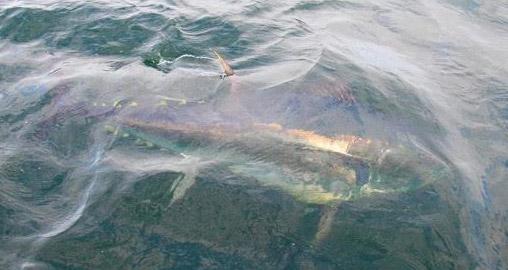 tuna-in-water-2